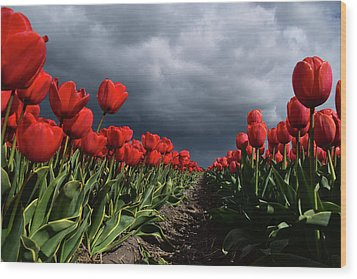 Heavy Clouds Over Red Tulips Wood Print by Mihaela Pater