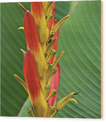 Heliconia Wood Print by Heiko Koehrer-Wagner