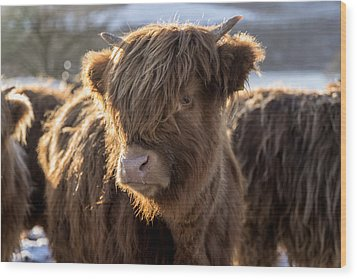 Highland Baby Coo Wood Print by Jeremy Lavender Photography