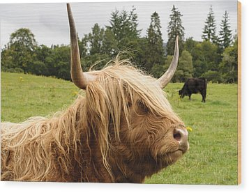 Wood Print featuring the photograph Highland Coo by Christi Kraft
