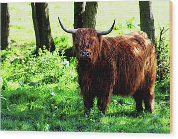 Highland Cow Wood Print by Dan Pearce