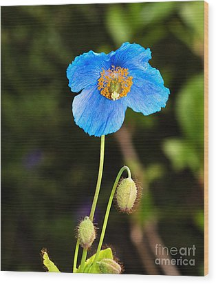 Himalayan Blue Poppy Wood Print by Louise Heusinkveld