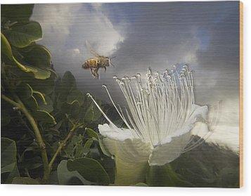 Honey Bee Apis Mellifera Approaching Wood Print by Mark Moffett