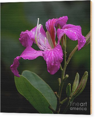 Hong Kong Orchid Wood Print