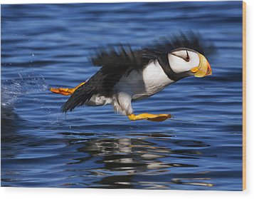 Horned Puffin  Fratercula Corniculata Wood Print by Marion Owen