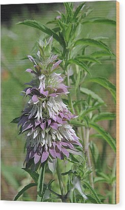 Horsemint Wood Print by Robyn Stacey