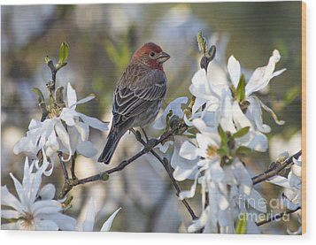 Wood Print featuring the photograph House Finch - D009905 by Daniel Dempster