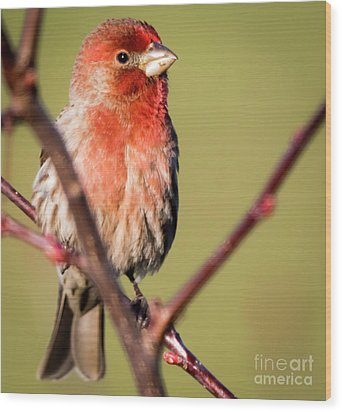 Wood Print featuring the photograph House Finch In Full Color by Ricky L Jones