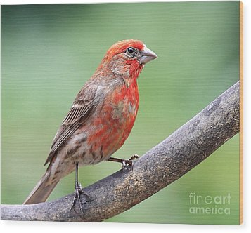 House Finch Wood Print by Wingsdomain Art and Photography