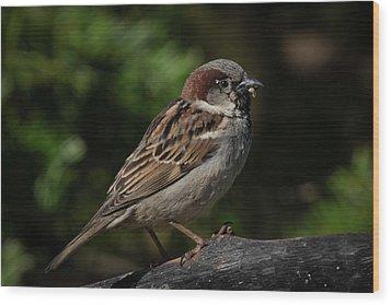 House Sparrow 2 Wood Print