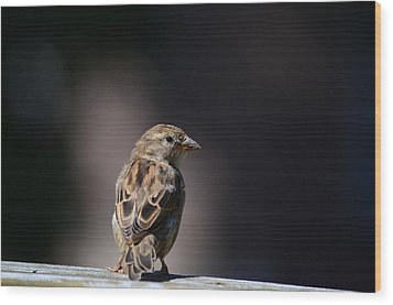 House Sparrow Wood Print by Kathy Eickenberg