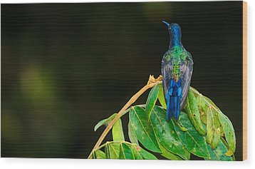 Hummingbird Wood Print by Daniel Precht
