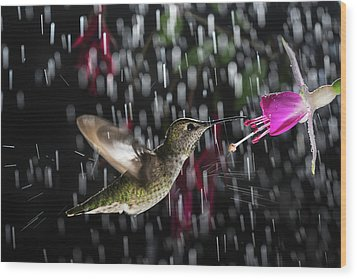 Hummingbird Hovering In Rain With Splash Wood Print