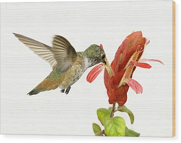 Hummingbird In The Flower Wood Print by Phil Stone