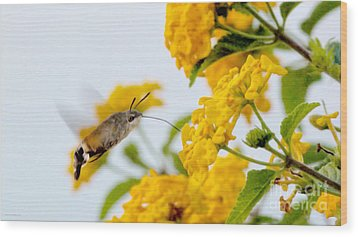 Hummingbird Moth Wood Print by Jason Christopher