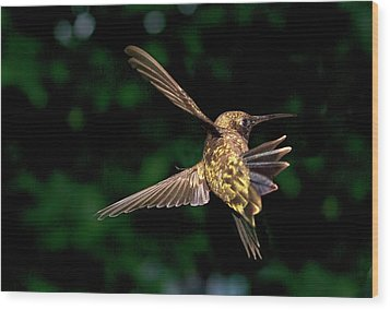 Hummingbird Taking Off Wood Print