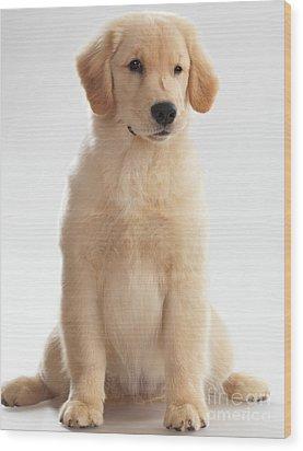 Humorous Photo Of Golden Retriever Puppy Wood Print by Oleksiy Maksymenko