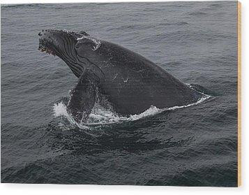 Humpback Whale Breach Wood Print by Tory Kallman