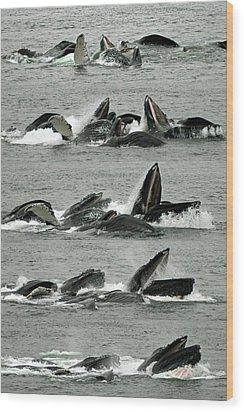 Humpback Whale Bubble-net Feeding Sequence X5 V1 Wood Print by Robert Shard