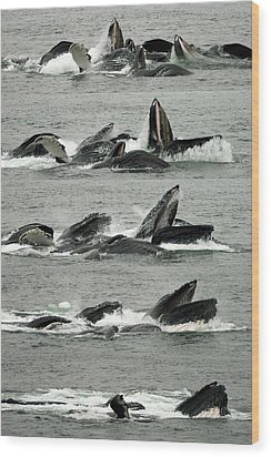 Humpback Whale Bubble-net Feeding Sequence X5 V2 Wood Print by Robert Shard