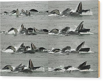 Humpback Whale Bubble-net Feeding Sequence X8 Wood Print by Robert Shard