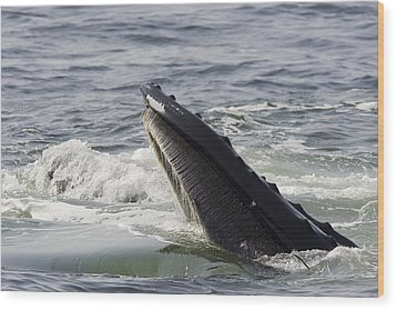 Humpback Whales Megaptera Novaeangliae Wood Print by Tim Laman