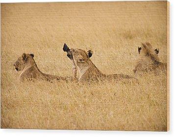 Hungry Lions Wood Print by Adam Romanowicz