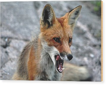 Hungry Red Fox Portrait Wood Print by Debbie Oppermann