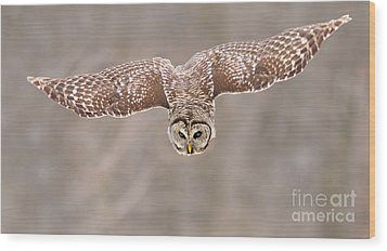 Hunting Barred Owl  Wood Print by Mircea Costina Photography