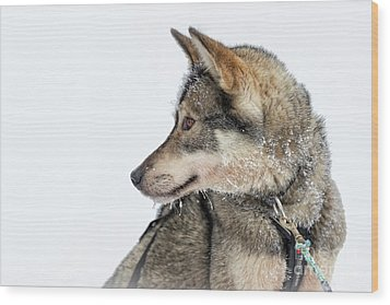 Wood Print featuring the photograph Husky Dog by Delphimages Photo Creations