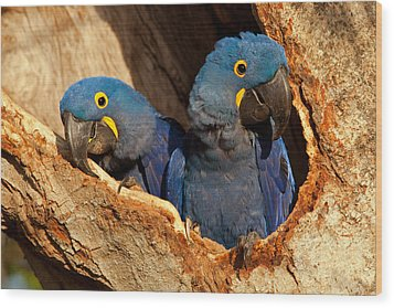 Hyacinth Macaw Pair In Nest Wood Print