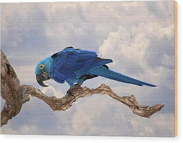 Wood Print featuring the photograph Hyacinth Macaw by Wade Aiken