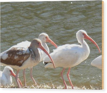 Ibis Flock With Spotted Juvenile Wood Print by Jeanne Kay Juhos