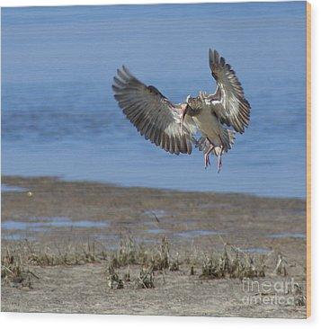 Ibis In Flight Wood Print by Debbie May