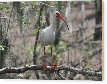 Wood Print featuring the photograph Ibis  by Teresa Blanton