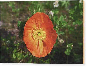 Wood Print featuring the photograph Iceland Poppy by Sally Weigand