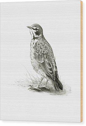 Immature American Robin Wood Print by Bruce Morrison