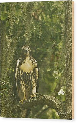 Immature Red-tail Hawk Wood Print by Phill Doherty