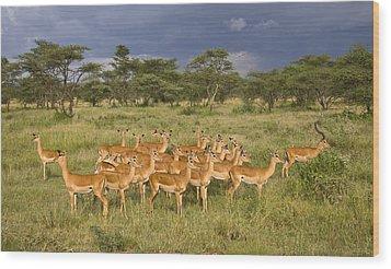 Impala Herd - Serengeti Plains Wood Print by Craig Lovell