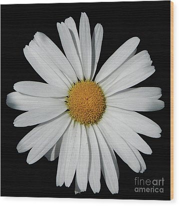 In The Spotlight White Daisy Wood Print