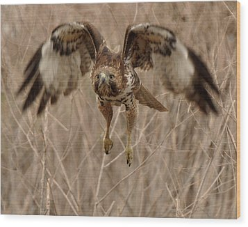 Inbound Red Tail Hawk Wood Print