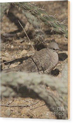 Wood Print featuring the photograph Inca Dove by Daniel Hebard