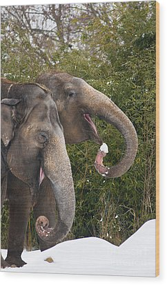Indian Elephants Eating Snow Wood Print