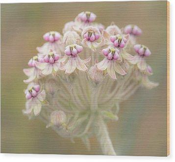 Wood Print featuring the photograph Indian Milkweed Flower Umbel by Alexander Kunz