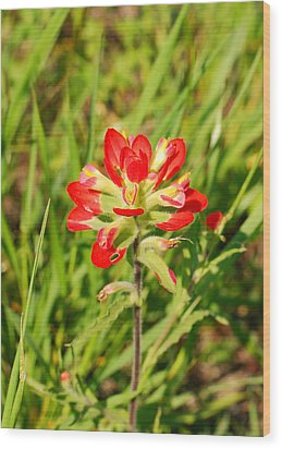 Indian Paintbrush Close Up Wood Print by Connie Fox