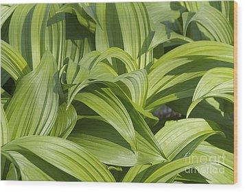 Indian Poke - Veratrum Veride-  Wood Print by Erin Paul Donovan