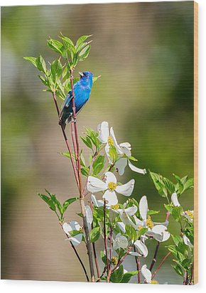 Indigo Bunting In Flowering Dogwood Wood Print