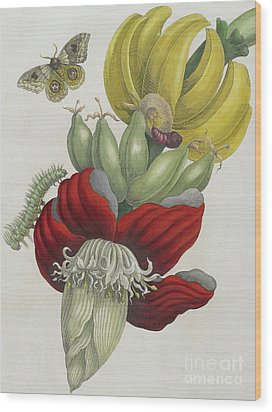Inflorescence Of Banana, 1705 Wood Print by Maria Sibylla Graff Merian
