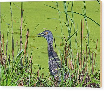 Inmature Black Crowned Heron. Wood Print