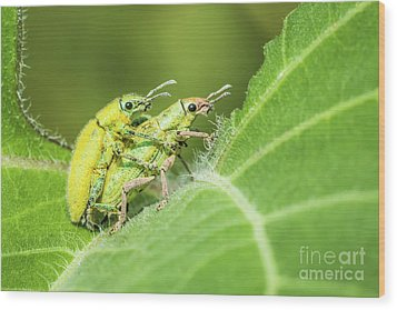 Wood Print featuring the photograph Insect Mating by Tosporn Preede